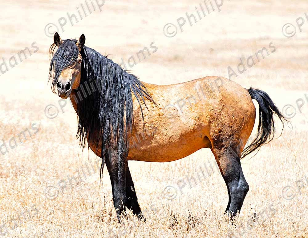 wild mustang essays In the wild, mustangs can live up to 40 years hurt or disabled horses are protected by the herd and can live remarkably long lives when compared with other animal species that live in the wild.