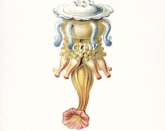 Coastal Decor Art - Hydra Natural History Giclee Art Print No. 3 8x10