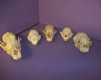 5 Real animal bone raccoon coyote badger fox otter skull skeleton taxidermy part