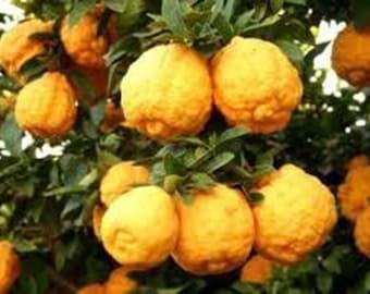 7 Dwarf Rough Lemon Tree Seeds-1279