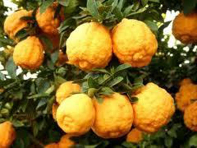 7 dwarf rough lemon tree seeds1279
