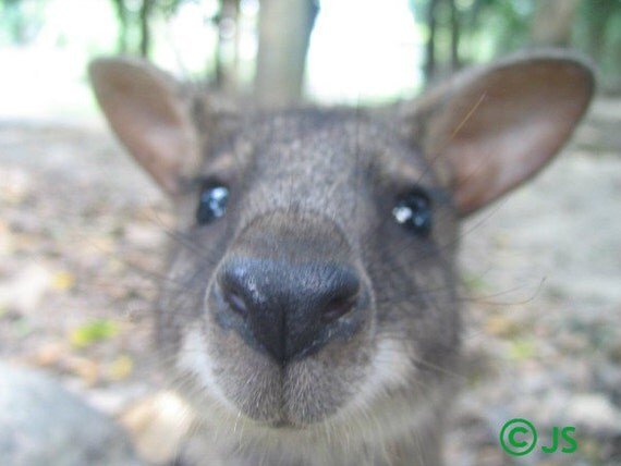Wallaby Photograph - Australia, animals, nature, wildlife - Wallaby Kiss, 8x10, color photography