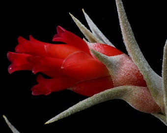 Tillandsia edithae-Rare Red Flowers When in Bloom
