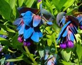Heirloom 50 Seeds  Cerinthe Honeywort Major Purpurasces Shrimp Plant Blue Purple Garden Wax Flower B0030