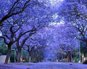 Heirloom 30 Bulk Seeds Blue Jacaranda Jacaranda Mimosifolia, drought tolerant, Tree Seeds T037