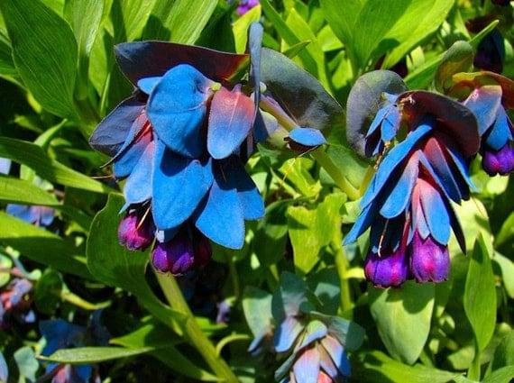 ... Major Purpurasces Shrimp Plant Blue Purple Garden Wax Flower B0030