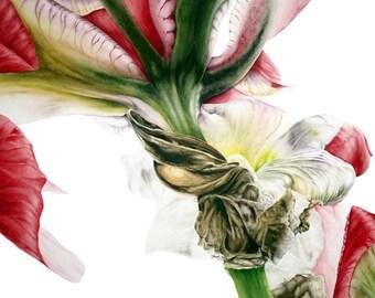 Red Iris - Large fine art botanical print, botanical art, botanical watercolor, 16 x 11or 13 x 19inch
