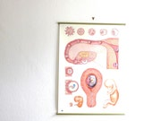 Vintage pull down chart embryo and pregnancy