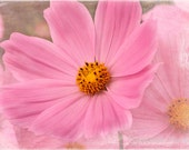 Cosmos, Fine Art Photography, Floral Photography, Flower Photography, Nature Photography