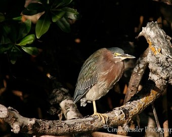 Green Heron, Photography, Bird Photography, Nature Photography
