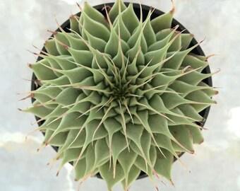 Succulent Plant  Graptoveria 'Silver Star'