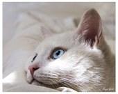White cat - blue eyes - animal photography print