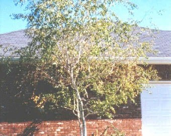 1000 Whitespire Birch Tree Seeds, Betula Platyphylla, Japonica