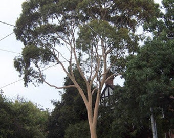 50 Lemon Scented Gum Tree Seeds, Eucalyptus citrodora