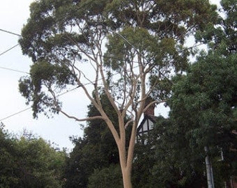 1000 Lemon Scented Gum Tree Seeds, Eucalyptus Citrodora