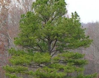 1000 Loblolly Pine Tree Seeds, Pinus Taeda