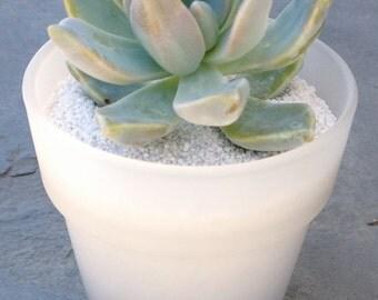 108 Succulent  Wedding Favors in new Flower Pot shape, Succulent Bridal Shower Favor, Spring or Summer Wedding Favor, special Event Favor