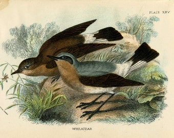 ANTIQUE BIRD PRINT Bookplate Lloyd's Natural History Hand-colored Wood Block Chromolithograph Wheatear Plate 25