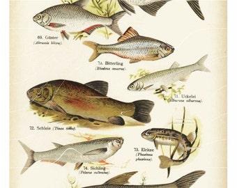 Original Antique Natural History Print - Blei-Biterling- Scheie - fish all kinds