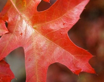 DIGITAL DOWNLOAD, Oak Leaf, Warm Red and Golden Photo, Bokeh, Fall Colours, Crisp Autumn