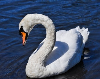 swan photography, nature, swimming, quills pond, white swan, newbury, birds, black swan, bird lovers, elegant, friends