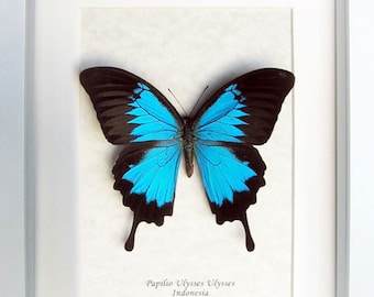 Blue Emperor Swallowtail Papilio Ulysses Real Butterfly In Shadowbox