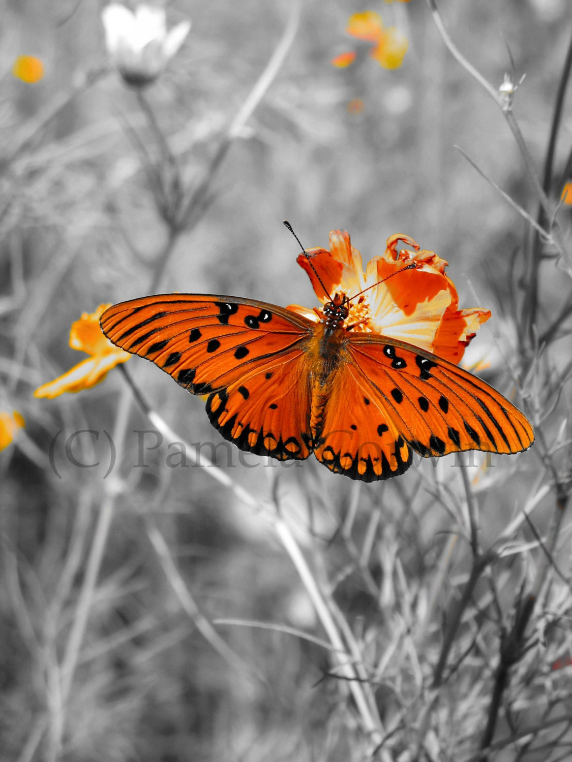 Black And White Butterfly Picture With A Pop Of By Equusfancy