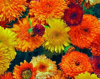 Pot Marigold Seeds ,Calendula - Very versatile Herbs, Use in Cosmetic, culinary recipes, Cut flowers, attract bees,birds,and butterflies!