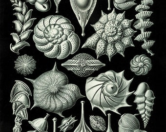 Antique Sea shell art print vintage nautical art print sea art print Ocean print Antique wall art beach Sea beach art Victorian art print