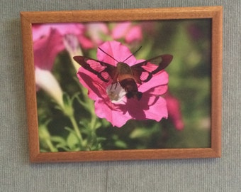 9 By 12 Humminbird Moth photograph printed on canvas