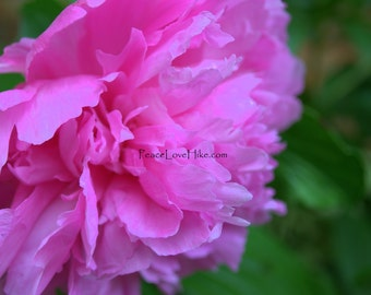 Pink Peony Flower Print #0065 Full Color, Fine Art