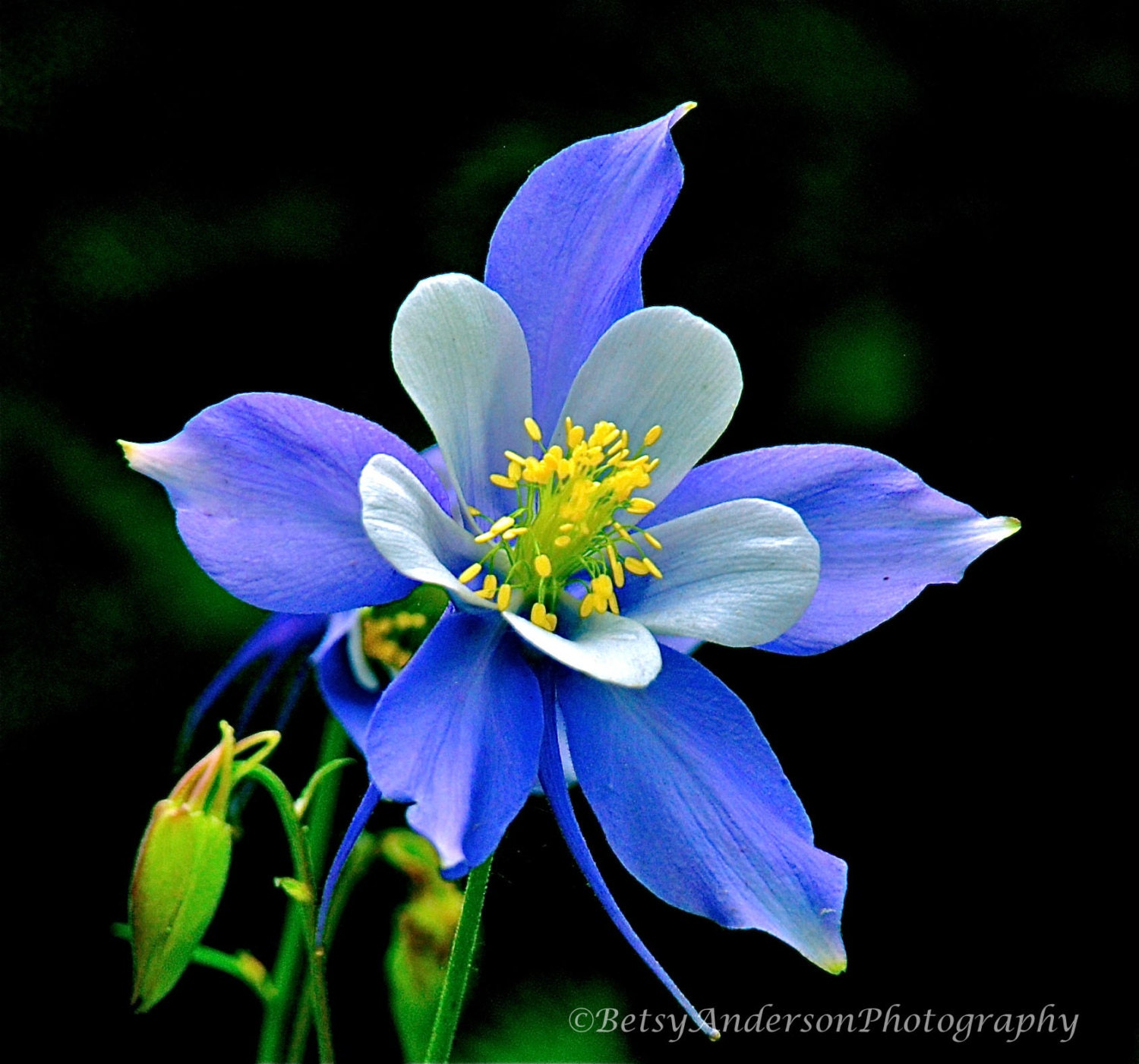 Flower picture of Colorado Columbine Fine art flower