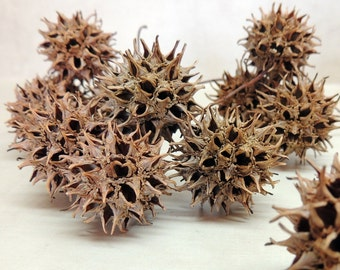24 Sweet Gum tree seed pods~ Woodland or rustic decor ~ curiosity cabinet ~ natural history collection