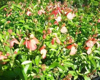 Lowry's Peach Sage (Salvia) live plant (Ornamental)
