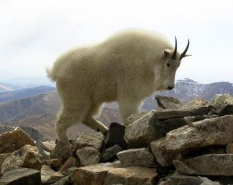 Mountain Goats - a set of 10 5x7 notecards