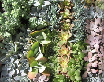 Succulent Plants. Assortment of 50 Gorgeous Assorted Succulents. Wonderful grouping for weddings and shower favors.