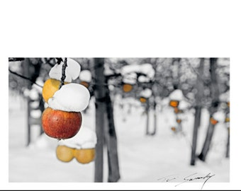 COLD APPLES..cold apple cider, snow on apples in Okanagan Orchard at Kelowna, seasons first snowfall on the local orchard, freezing fruit