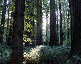 California Redwoods Sunlight Shining Green - Landscape Photography Print