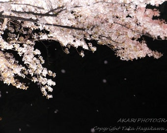 Cherry Blossom Photography : Wall Decor - Cherry Blossoms at Night - Odenton, Maryland