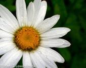 Daisy. Daisy.
