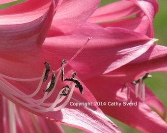 Pink Crinum Lily Flower 1920x1200 Digital Image File