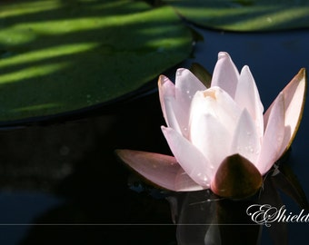 Glowing Pond Lily - SALE