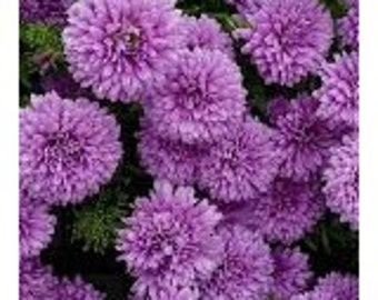 Purple Aster  Flower Seeds / Kurenal / Annual 30+
