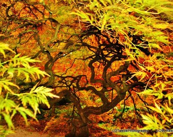 Nature Photograph, Tree Photograph, Japanese Maple Tree, Fall Colors, Autumn Landscape, Red Orange Yellow, Arboretum, Colorful Tree