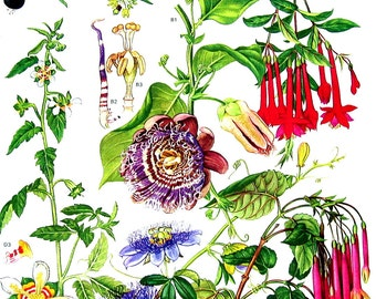 Meloncillo, Granadilla, Loasa - South American Flower  - Botanical Print - 1988 Vintage Flower Print