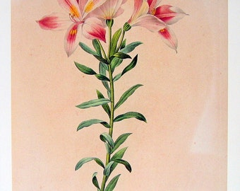 Alstroemeria - Redoute Botanical Print - 1979 Vintage Flowers Book Plate P50