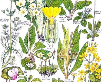 1965 Botanical Print - Water Violet, Primrose, Cowslip, Yellow Pimpernel - British Flowers Vintage Book Plate P58
