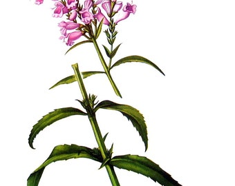 False Dragonhead Flowers - Botanical Print - 1954 Vintage Book Page - 11 x 8