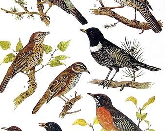 Bird Print - Bare Eyed Thrush, Cuban Thrush, Townsend's Solitaire, Fieldfare Thrush, Ring Ouzel, Blackbird -1973 Encyclopedia Book Page