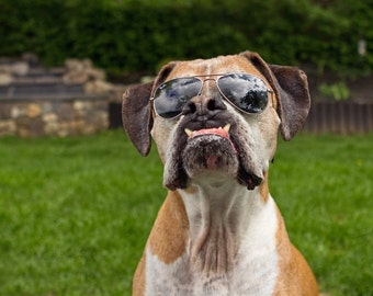 Dog Wearing Sunglasses - 8x10 Funny Dog Photography Art Print - Boxer Dog in Glasses Photo